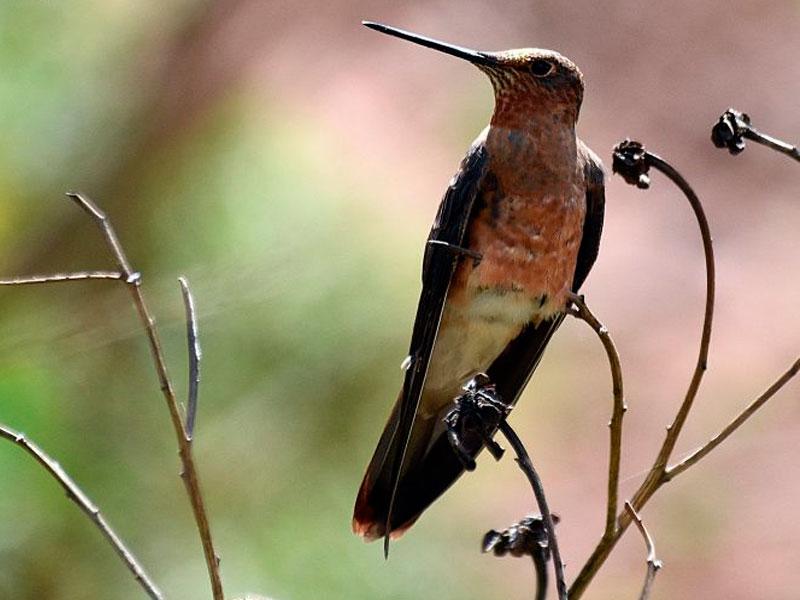 huacarpay-aves